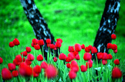 тюльпаны ландшафта Стоковая Фотография