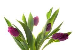 тюльпаны лиловые Стоковое Фото