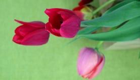 Тюльпаны на зеленой предпосылке Стоковая Фотография RF