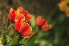 Тюльпаны на утре солнечного света стоковые фото