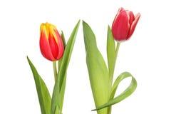 тюльпаны пар стоковые фотографии rf
