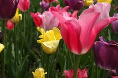 Тюльпаны пасхального яйца покрашенные весной Стоковые Изображения