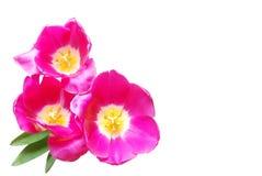 тюльпаны пинка 3 Стоковое Изображение