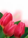 тюльпаны пинка copyspace предпосылки белые Стоковое Изображение