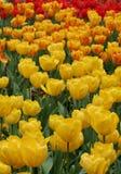 тюльпаны поля вертикальные Стоковые Изображения RF