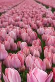 тюльпаны поля розовые Стоковая Фотография RF