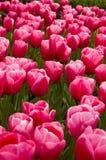 тюльпаны поля розовые Стоковое фото RF