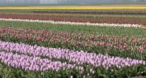 тюльпаны поля Стоковые Фото