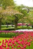 тюльпаны поля Стоковое Фото