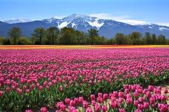 тюльпаны поля Стоковое Изображение RF