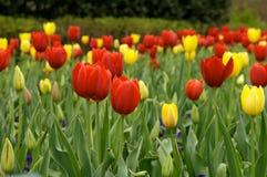 тюльпаны поля Стоковая Фотография RF