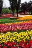 тюльпаны поля Стоковые Изображения RF