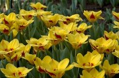 тюльпаны поля Стоковое фото RF