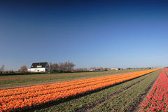 тюльпаны поля Стоковое Изображение