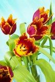 тюльпаны попыгая расположения Стоковое фото RF