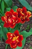 Тюльпаны попыгая Стоковое фото RF