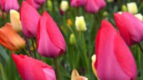 Тюльпаны после дождя видеоматериал