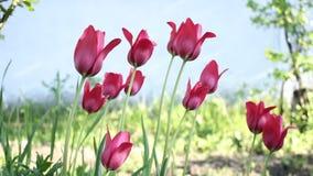 Тюльпаны пошатывая в ветре сток-видео