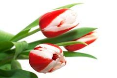 тюльпаны предпосылки белые Стоковое Изображение