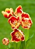 тюльпаны пука передние красные осматривают желтый цвет Стоковое фото RF