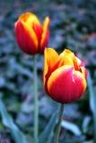 тюльпаны раскрывая Стоковые Фотографии RF