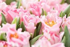 Тюльпаны розового цвета Большие бутоны Флористический естественный фон Необыкновенные цветки, не похож на другие фокус отмелый об стоковая фотография