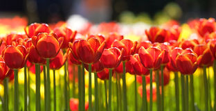 тюльпаны рядка Стоковые Фотографии RF