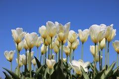 Тюльпаны садовничают Зацветая белые тюльпаны с ясным голубым небом стоковая фотография