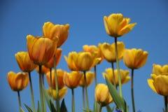 Тюльпаны садовничают Тюльпаны цветения красочные стоковое фото