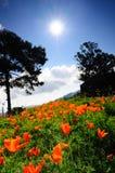 тюльпаны солнца вниз Стоковые Фото