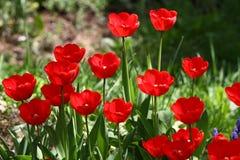 Тюльпаны Тюльпаны уникально цветов красные на солнечном свете Предпосылка обоев тюльпана Тюльпан цветет текстура желтый цвет карт стоковое изображение
