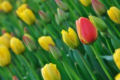 тюльпаны цветеня Стоковые Фотографии RF