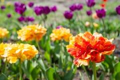 Тюльпаны цветков желтые весной стоковые изображения rf