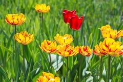 Тюльпаны цветков желтые весной стоковые изображения