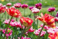 Тюльпаны цветков розовые весной стоковые фото