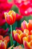 Тюльпаны цветут красивый букет тюльпанов, красочных цветков, обоев предпосылки Стоковые Изображения RF