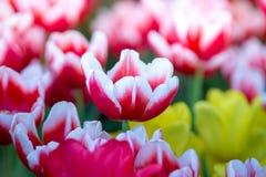 Тюльпаны цветут красивый букет тюльпанов, красочных цветков, обоев предпосылки Стоковая Фотография RF