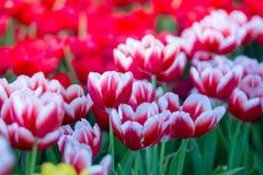 Тюльпаны цветут красивый букет тюльпанов, красочных цветков, обоев предпосылки Стоковые Фото