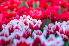 Тюльпаны цветут красивый букет тюльпанов, красочных цветков, обоев предпосылки Стоковая Фотография