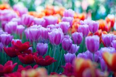 Тюльпаны цветут красивый букет тюльпанов, красочных цветков, обоев предпосылки Стоковые Фотографии RF