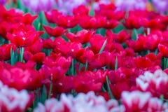 Тюльпаны цветут красивый букет тюльпанов, красочных цветков, обоев предпосылки Стоковые Изображения