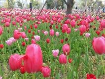 Тюльпаны стоковые фотографии rf