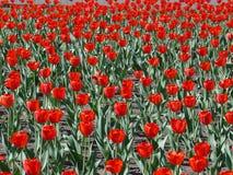 тюльпаны Стоковое фото RF
