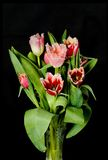тюльпаны стоковая фотография
