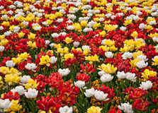 тюльпаны Стоковые Фото