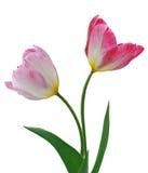 тюльпаны 2 цветка Стоковая Фотография