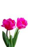 тюльпаны 2 Стоковое Изображение
