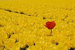 Тюльпаны Стоковые Изображения