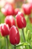 тюльпаны Стоковые Изображения RF