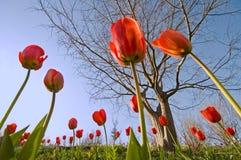 тюльпаны стоковая фотография rf